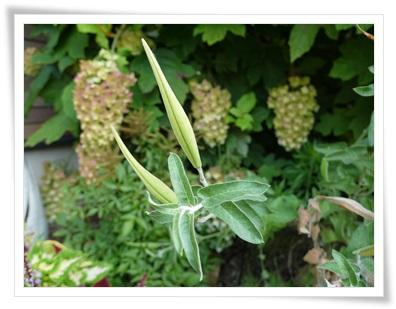 ブルースター種1