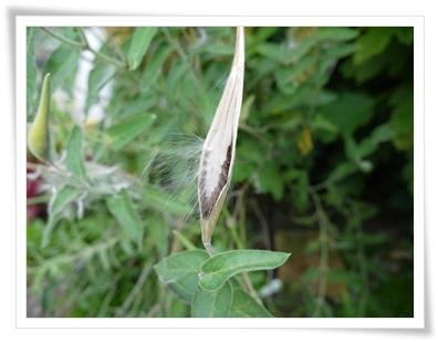 ブルースター種2