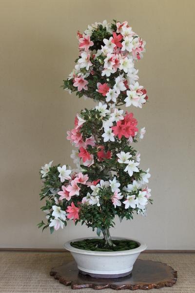 彩春、樹高100cm、幹回り11cm009_2