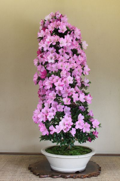 紫苑、樹高110cm、幹回り11cm011_2