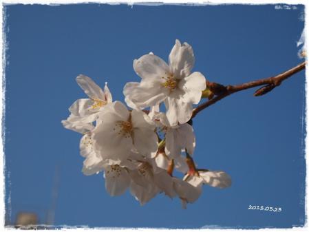 0323桜②