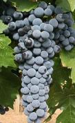 215px-Red_Mountain_Cabernet_Sauvignon_grapes_from_Hedge_Vineyards.jpg