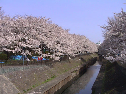 善福寺公園桜