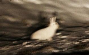 エゾユキウサギ (4)