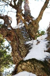 カツラの巨木 (7)