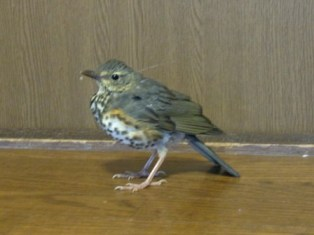 クロツグミ 幼鳥♀ ?
