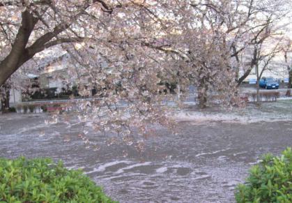 散りいく桜