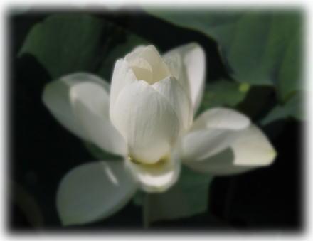素敵な白い蓮