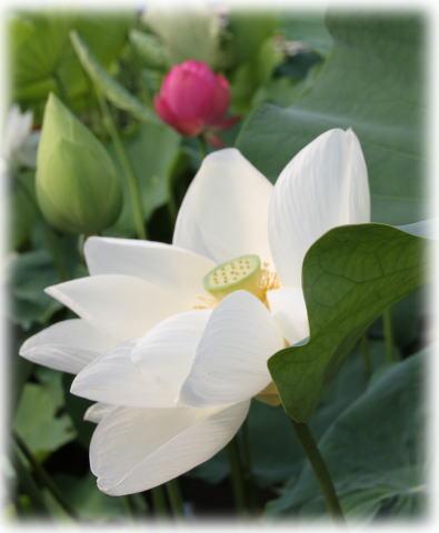 白い蓮とピンクの蓮