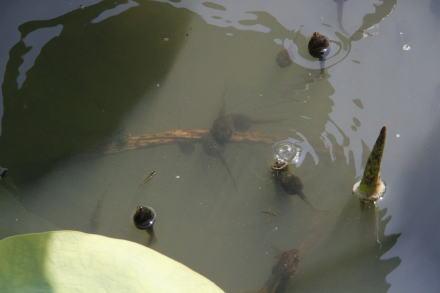 オタマジャクシの泳ぎ
