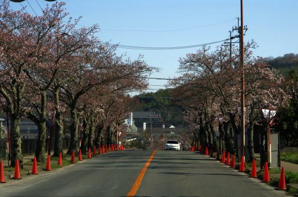 石上神宮外苑桜並木
