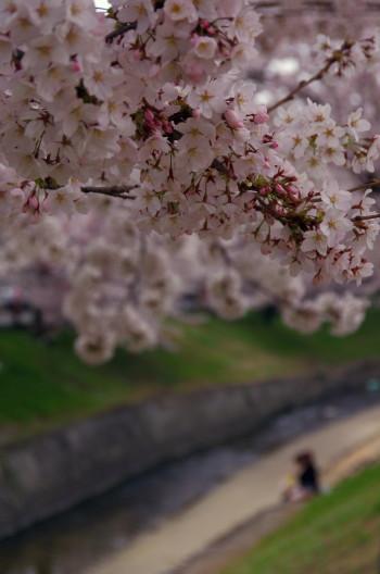 高田 桜並木