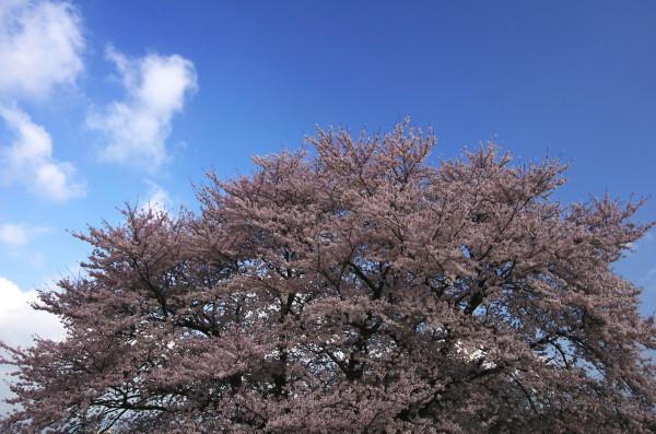 天理 大桜