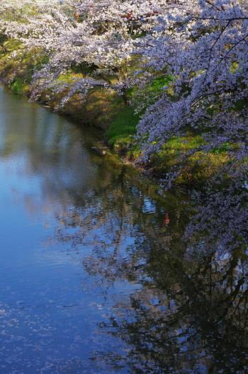 郡山城 お堀の桜