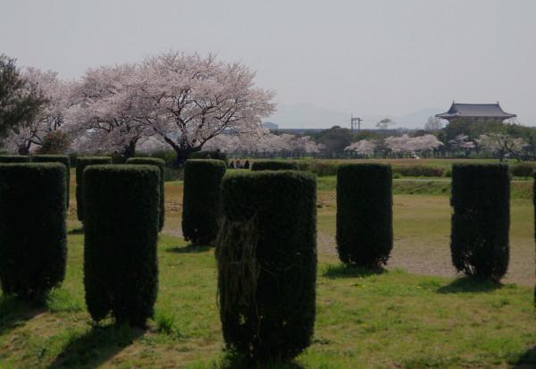 平城京 桜並木1