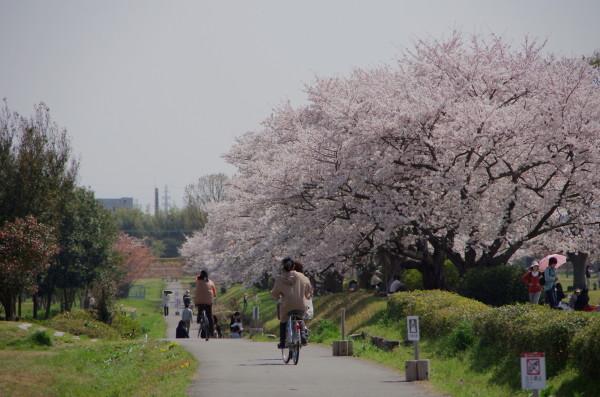 平城京 桜並木