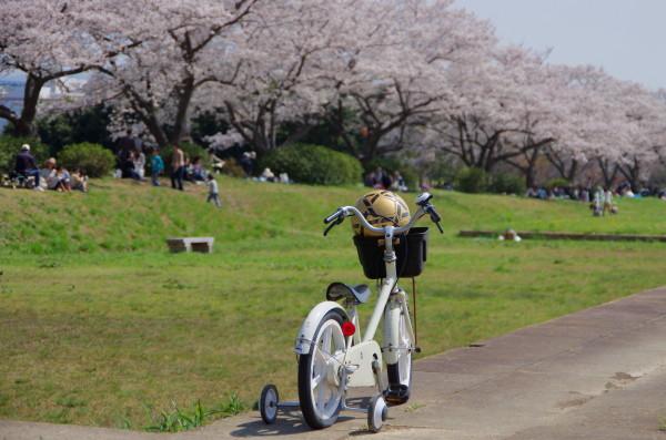 平城京 桜並木2