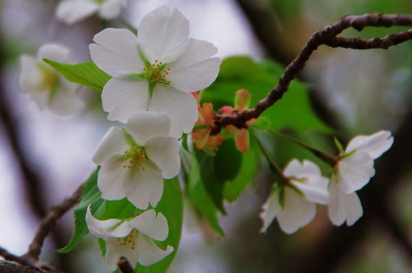 うすみどり桜