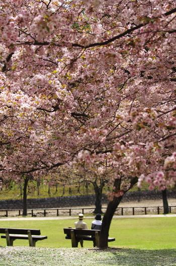 鷺池 八重桜