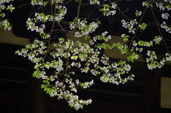興福寺 桜