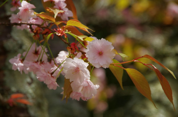 奈良 九重桜0