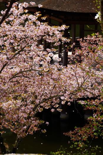 浮見堂 散る桜