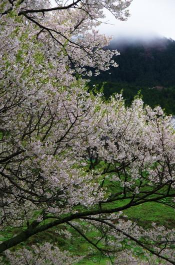 仏隆寺 千年桜4
