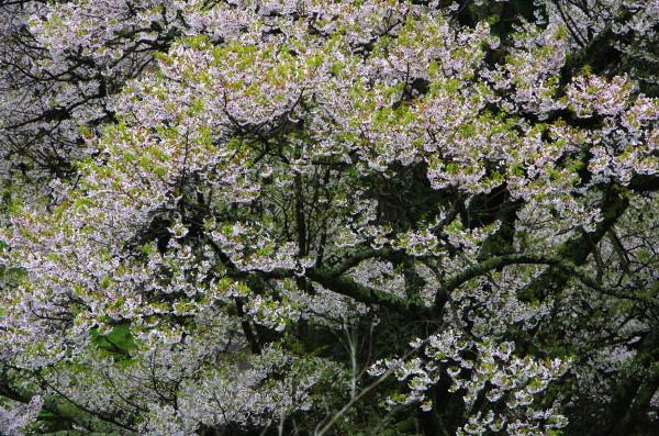 仏隆寺 千年桜2