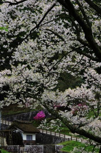 仏隆寺 千年桜 水車小屋