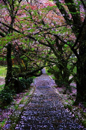 仏隆寺 石段の桜花1