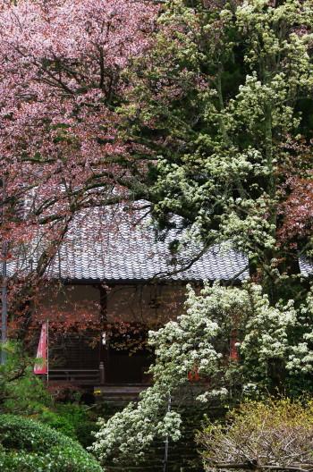 仏隆寺 本堂の桜と梨の花