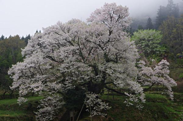 仏隆寺 千年桜全景0