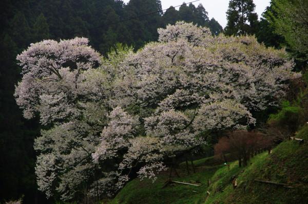 仏隆寺 千年桜遠景4