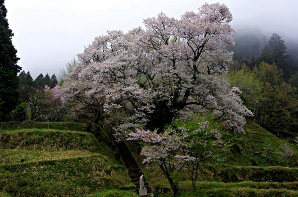 仏隆寺 千年桜全景00