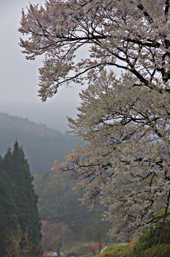 仏隆寺 千年桜遠景00