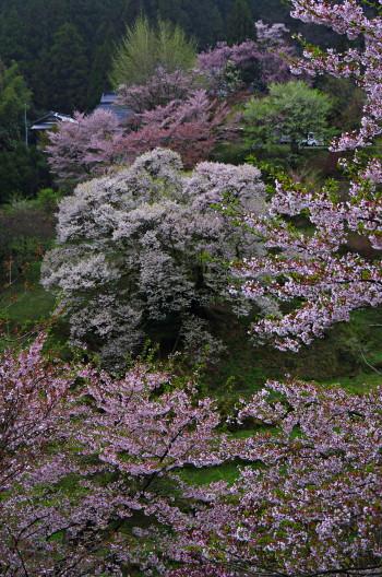 仏隆寺 千年桜遠景 対岸から