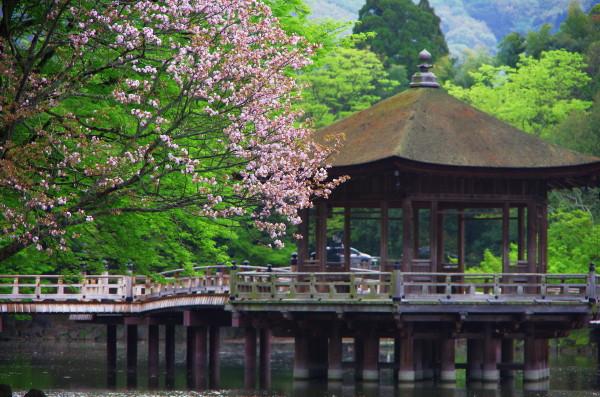 奈良八重桜 浮見堂1