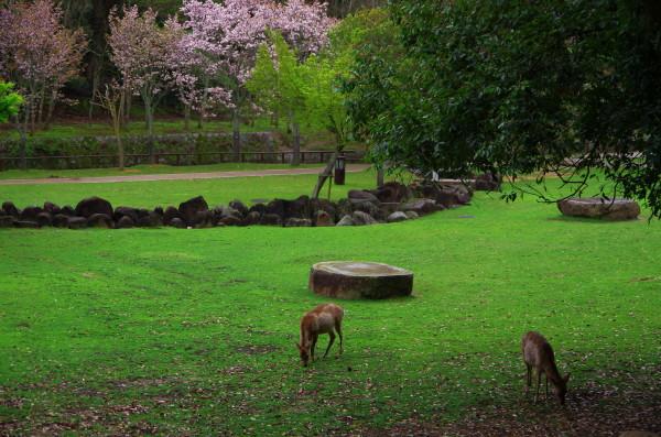 奈良八重桜 鹿