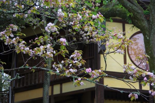 奈良八重桜 江戸三