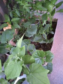 5-5夏野菜苗