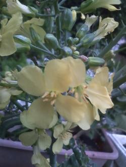5-5芽キャベツ花