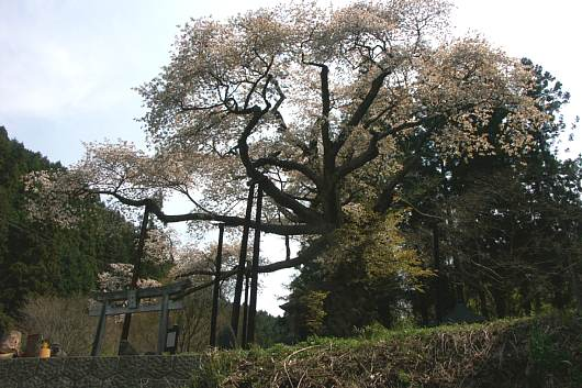 nasusakura1.jpg