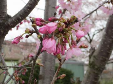 濃いピンク桜