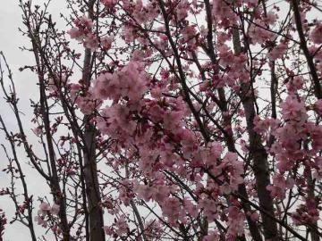 濃いピンク桜2