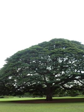 この木なんのき日立の木