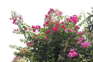 沖縄といえばこの花
