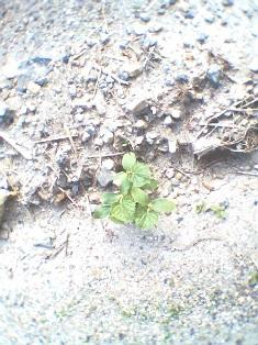 きゅうり芽