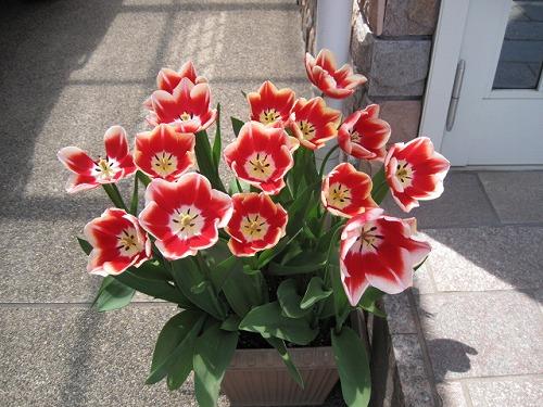 2012春 チューリップ