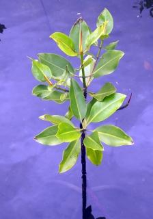 マングローブの成長