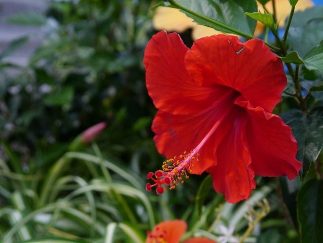 1304 咲くやこの花館ハイビスカス